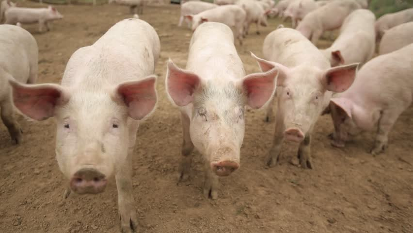 A brown boar in the company of pink pigs, runs, lies, actively behaves, eats in an open-air cage. | Shutterstock HD Video #29223175