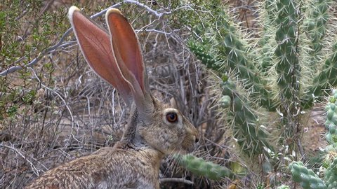Profile of antelope jackrabbit, nose twitching, long, oversized ears, lit by sun displaying  network of blood vessels that help hare stay cool in extremely hot, Arizona desert summer. 4K UHD 3840x216