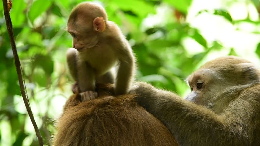 Assam macaque,monkey