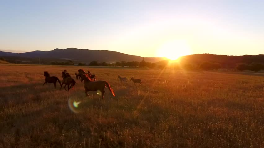 Wild Horses Galloping in a Field. Aerial Cinematic View of Runnig Horses. Amazing Golden Sunset with Camera Lens Flare Effect. HD Slowmotion.