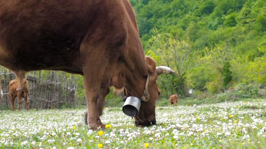 Domestic cattle breeding. Bull graze in the meadow. A herd of cow grazing on a green field with clover.   Shutterstock HD Video #29461105