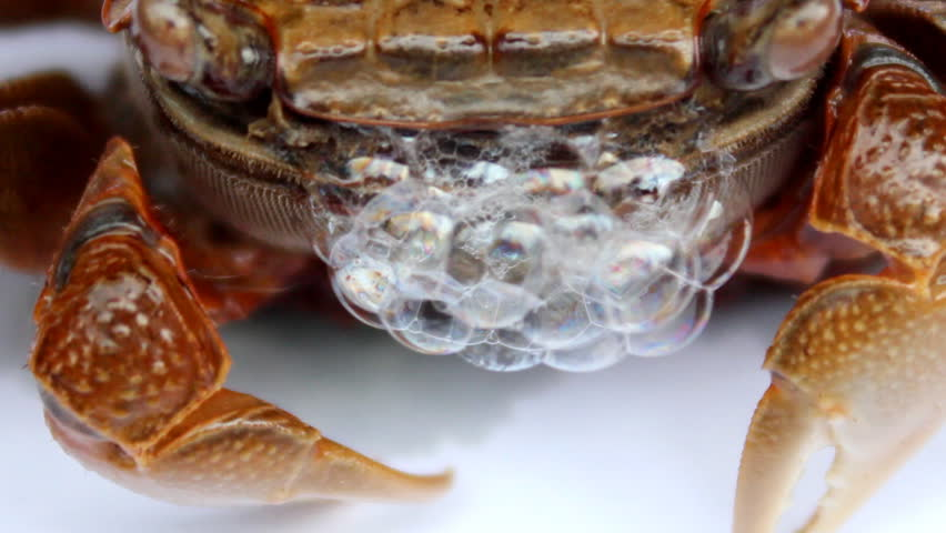 Crab crawling scene  | Shutterstock HD Video #29496925