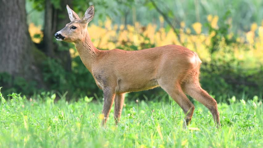 Wild roe deer grazing in a field