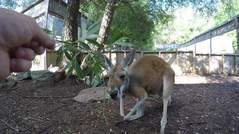 kangaroo eats from your hand pov gopro