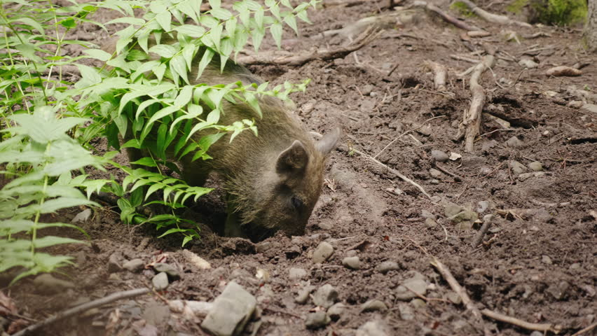 A funny wild boar digs the earth with its snout. Funny animals