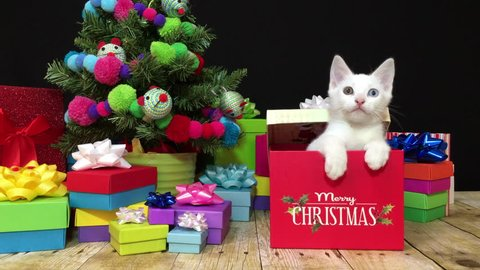 4K HD video of one white kitten with heterochromia eyes blue and green popping out of a present, box says Merry Christmas. Looks around then moves into camera looking directly at viewer.