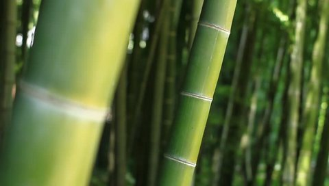 Bamboo in the forest at Takebayashi park back shallow focus mild wind 2017.07.20 in Tokyo camera : Canon EOS 7D
