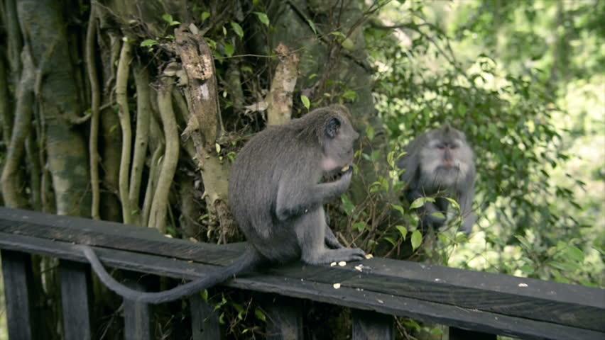 Monkeys are Having Sex in Stock Footage Video (100% Royalty-free) 29746015  | Shutterstock