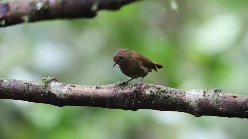 Sunda robin (Myiomela diana) in  Mt.Kerinci, Sumatra,Indonesia | Shutterstock HD Video #29752405