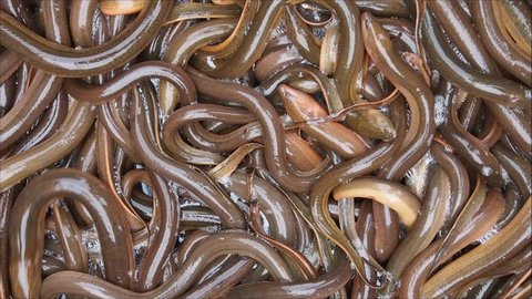 Close up on many live eels.