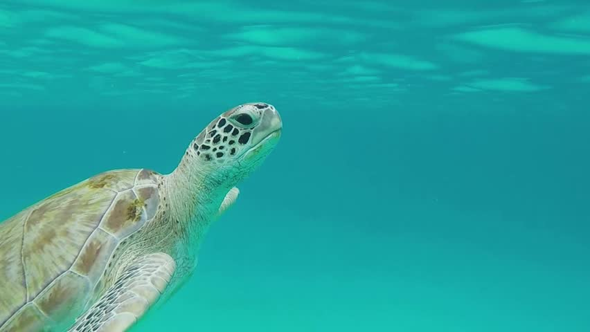 Turtle taking a breath above the water in Barbados | Shutterstock HD Video #29777035
