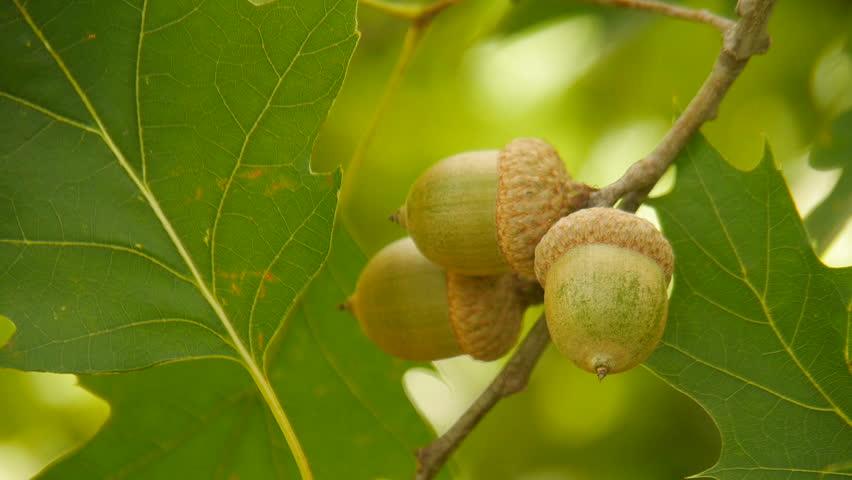 Header of acorn