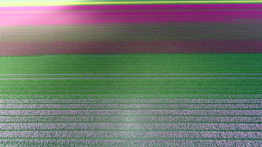 Aerial top-down view of colorful tulip field moving forward over multi colored rows of flowers typical dutch polder landscape with green red pink and yellow flowers shadows of clouds moving over field