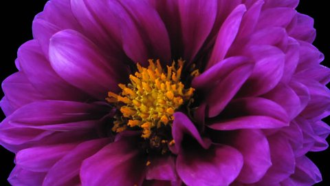 Time-lapse of dying purple dahlia flower 6a1 in PNG+ format with ALPHA transparency channel isolated on black background