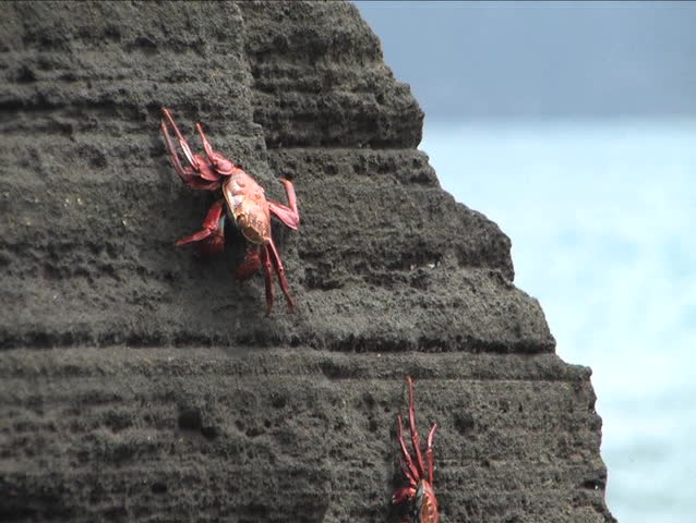 Sally Lightfoot Crab on the Galapagos Islands