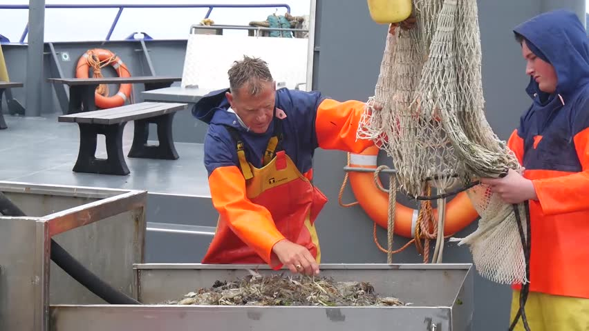 HARLINGEN, NETHERLANDS - CIRCA JULY 2017: the fish and crustaceans just caught are cleaned and worked on the deck of a fishing boat sailing in the Wadden Sea, Frisian islands, Holland.