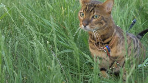 The one cat bengal walks on the green grass.