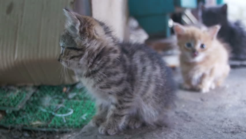 Little gray and white homeless kitten looks into the camera. Fluffy homeless kittens are walking on the street. | Shutterstock HD Video #29959555