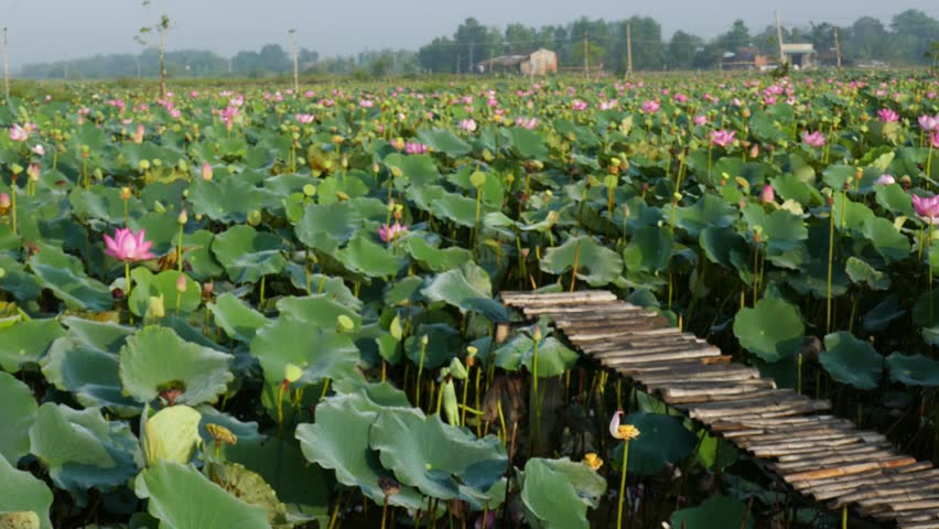 Lotus Flower Field With Wooden Stock Footage Video 100 Royalty