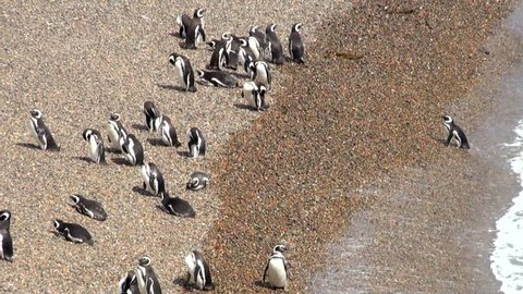 Magellanic Penguin colony of Punta Tombo, one of the largest in the world, Patagonia, Argentina