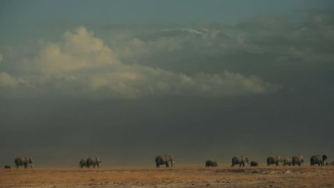 Herd of elephants walking in front of Kilimanjaro