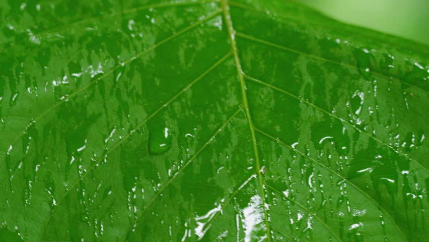 A medium shot of leaf dripping water tilts downward. | Shutterstock HD Video #30011155