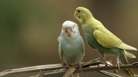 Pair of love parakeets (Melopsittacus undulatus) in natural scenes.
