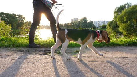 Pretty young beagle dog walk on leash at city park, sunny evening, slow motion shot. Man go at pathway side, doggy jog on road with tail in air. Puppy sniff ground then go to owner