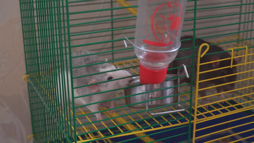 Pet rat in a cage Close up. Shot of pet rat inside a cage.