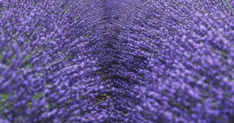 fields of blooming lavender flowers in Provence, France