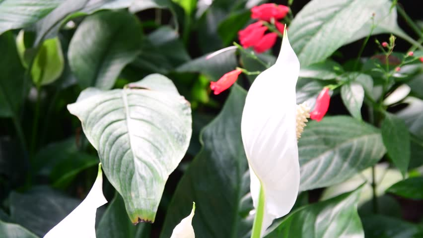 Anthurium flower in the nursery (anthurium andraeanum). White anthurium flowers in botanic garden (araceae orarum). Tropical plants. clump of white anthurium flowers growing in a garden.