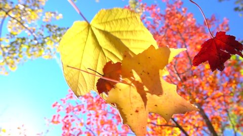 SLOW MOTION CLOSE UP: Red and yellow fall foliage falling off in autumn forest on sunny day. Vibrant maple leaf falling slowly towards the ground in sunny fall. Colorful autumn trees shedding leaves