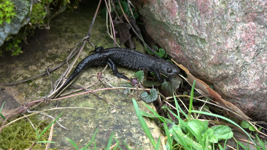 Great crested newt Triturus cristatus crawling in spring