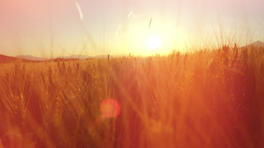 CLOSE UP DOF LENS FLARE: Gorgeous yellow wheat plants in vast dense farmland field surrounded by majestic mountains at golden light sunset. Idyllic Tuscany landscape with endless golden wheat fields