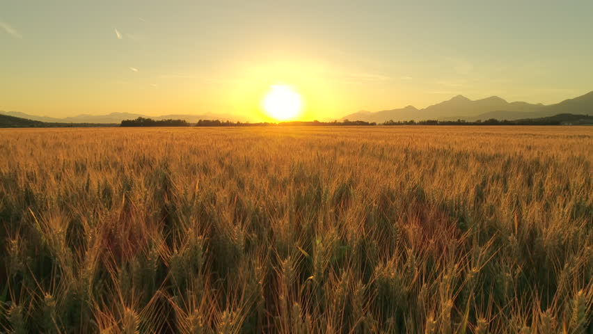 AERIAL CLOSE UP Flying close above vast yellow wheat field surrounded by dramatic mountains in idyllic Tuscany nature at golden light sunset. Huge fiery sun setting behind hills in countryside, Italy | Shutterstock HD Video #30261715