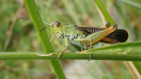 Grasshopper making sound by rubbing it's hind legs against it's wings. It is on a field calling song to attract females, on spring season.