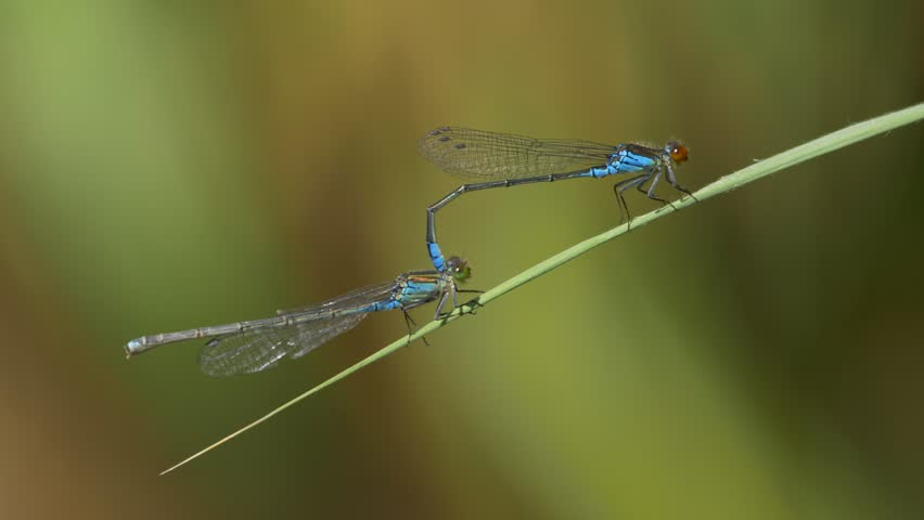 Small red-eyed damselfly (Erythromma viridulum) mating | Shutterstock HD Video #30377845