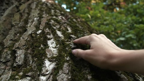 A woman touches a trunk of tree with moss. Textures of nature. Oak bark. Close up 4K