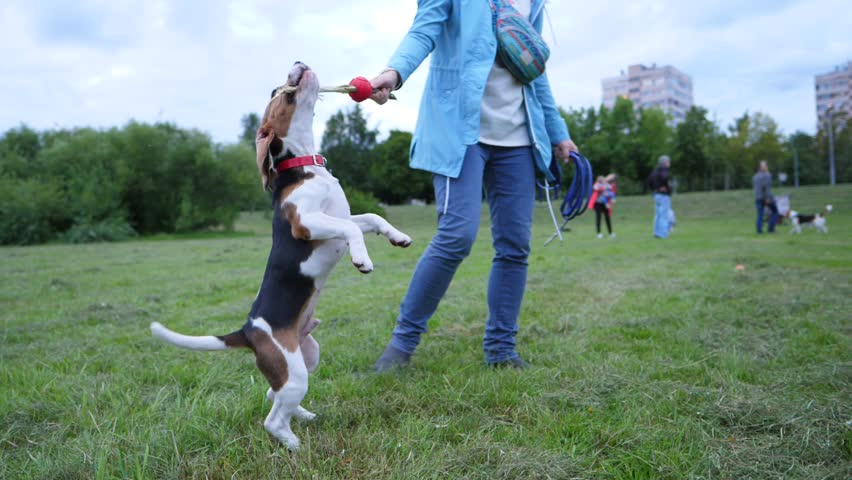 Great Small Leg Beagle Adorable Dog - 12  Pic_28841  .resize(height:160)