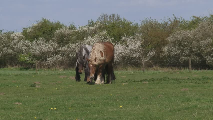 Belgian draft horses grazing in typical Dutch river landscape. Blackthorn flowering in background.