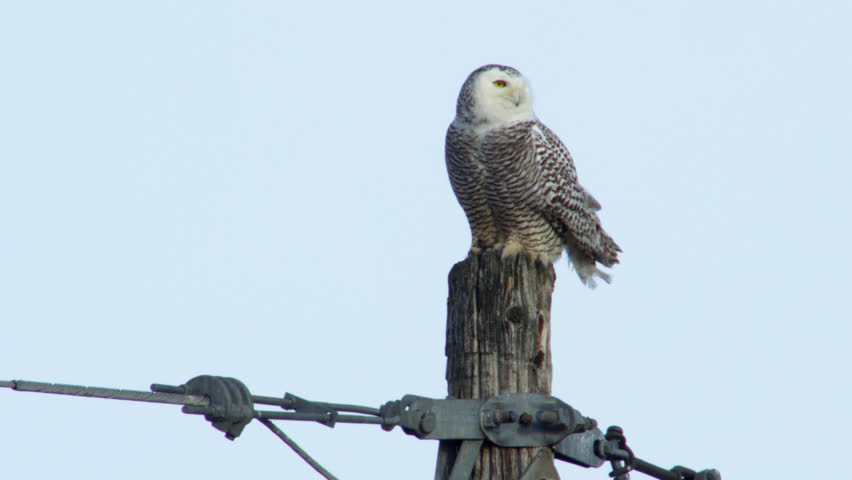 WS SLO MO TD Snowy owl (Bubo scandiacus) taking off from wooden post