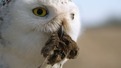 CU SELECTIVE FOCUS Portrait of snowy owl (Bubo scandiacus) eating dead animal
