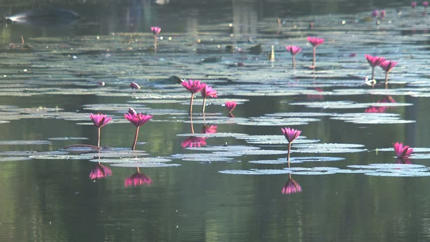 Ankor wat Lotus flowers in the lake, Siem Reap, Cambodia