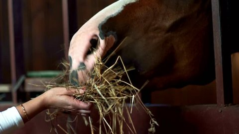 Brown horse eating hay from hands owner in stall. Woman feeding horse at stable on livestock farm