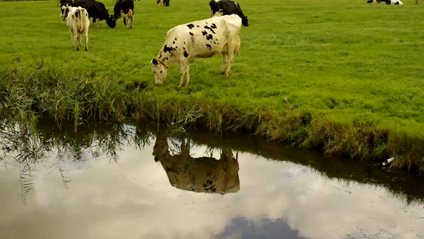 Holstein Friesian dairy cow in field and reflection in a ditch, other black and white Holstein Friesian cattle in the background.