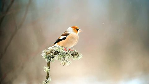 Hawfinch sitting on a stick with moss on a beautiful background.