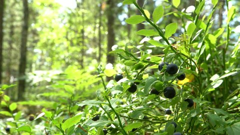 Man picking wild berries uin national park forest in Finland
