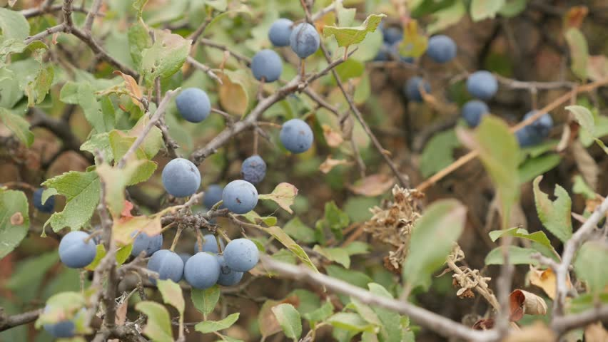Slow motion of Prunus spinosa berries 1080p FullHD footage - Blackthorn sloe shrub natural background slow-mo 1920X1080 HD video