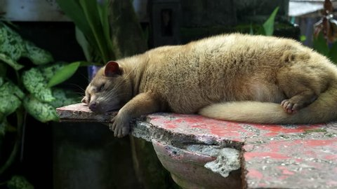 luwak sleeping on a bench at tanah lot temple on bali- luwaks are the animal used to produce a gourmet coffee