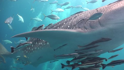 Whale shark and many queen fish around Sail Rock/Gulf of Siam/Thailand/ Camera Sony AX100 with Gates Underwater Housing